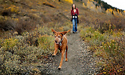 SHOT 9/27/12 12:57:37 PM - Tanner, a eight year old male Vizsla, runs while hiking the Lower Loop Trail in Crested Butte, Co. with owner Margaret Ebeling of Denver, Co. Aspen trees change colors as the fall foliage season comes to a peak in Colorado. The Lower Loop Trail is a wonderful scenic trail along the Slate River with views of snow capped mountains and wild flowers. It connects from the town of Crested Butte to the Oh-Be- Joyful wilderness area. It is fairly level and traverses several different types of terrain. It passes through a reclaimed mine site. (Photo by Marc Piscotty / © 2012)