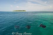 manta rays, Manta alfredi (formerly Manta birostris ), feeding on plankton, Kihaadufaru Reef, with Dhonfanu Island in background, Hanifaru Lagoon, Baa Atoll, Maldives ( Indian Ocean )