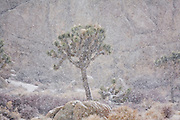 Snow falls heavily around a Joshua Tree (Yucca brevifolia) in Joshua Tree National Park, California