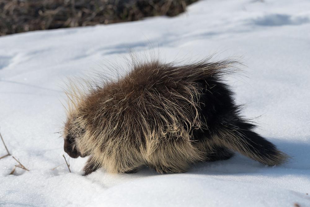 A porcupine walks across snow in Badlands National Park
