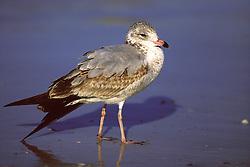 Immature Ring-billed Gull