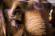 An elephant after having his forehead oiled and painted with coloured chalk at the Sonepur animal fair, near Patna, Bihar, India.
