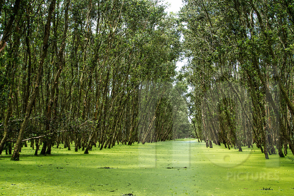 Green swamp path through Tra Su Cajuput Forest, Van Giao Commune, Tinh Bien District, An Giang Province