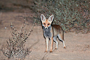 night photography of a Red Fox (Vulpes vulpes). The Red Fox is the largest of the true foxes, as well as being the most geographically spread member of the Carnivora, being distributed across the entire northern hemisphere from the Arctic Circle to North Africa, Central America, and the steppes of Asia. Photographed in Israel in June