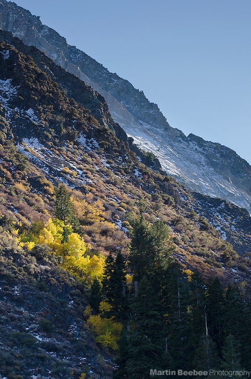 Sun spotlighting a grove of quaking aspen (Populus tremuloides) on a mountainside, Inyo National Forest, California
