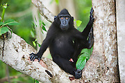 A portrait of a juvenile Celebes Crested Macaque ( Macaca nigra ) with amber-colored eyes resting in a tree, Sulawesi, Indonesia