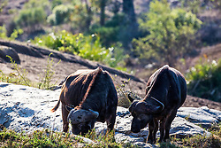 Cape Buffalo grazing the bushveld South Africa's Kruger National Park.