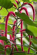 Acalypha hispida (Cat's Tail, Chennile Plant) at the Gemrose Eden Garden, St. David's, Grenada, West Indies, The Caribbean