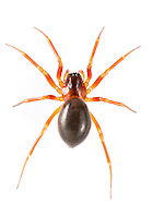 """Gongylidium rufipes - Female. One of the larger Linyphiid """"money spiders""""and is very common on trees and bushes where it spins a small hammock web."""
