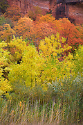 Autumn trees in Zion Canyon, Zion National Park, Utah.