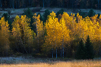 A longer focal length was used to isolate these glowing yellow aspens in late day light. Middlesex, Vermont
