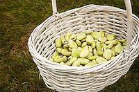 A white wicker basket holds shelled Fava Beans.