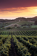 Sunset over vineyards in the Carneros Region, Napa County, California