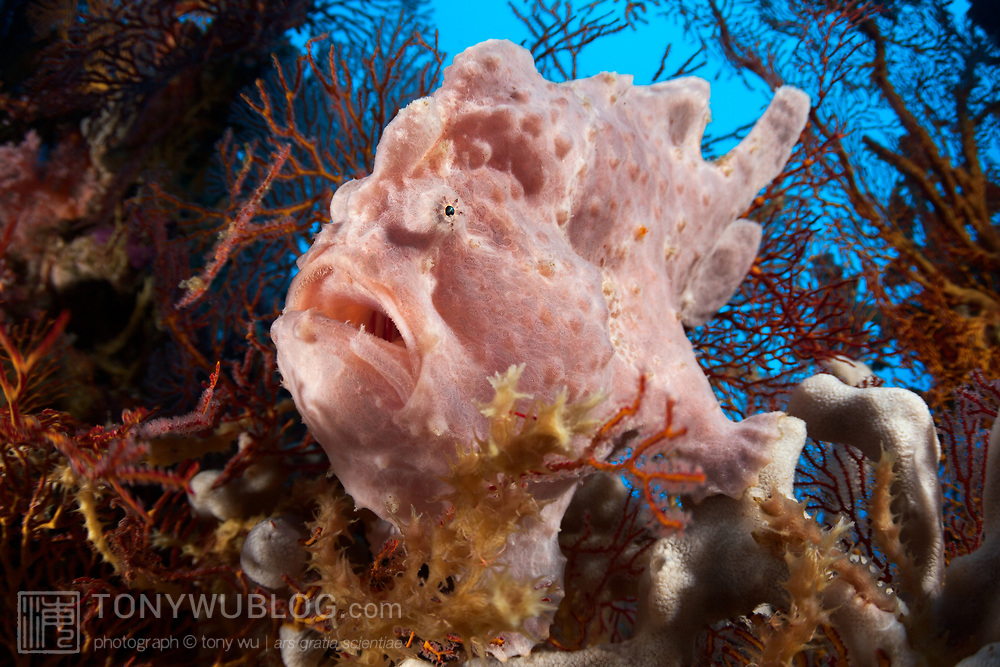 Pretty pink Commerson's frogfish sitting on a sponge concealed by sea fans, at a dive site called Shaw Thing in the Eastern Fields of Papua New Guinea. This dive was the first time that Captain Craig of Golden Dawn had come across one of these frogfish in the Eastern Fields even though he had been diving the area for about 20 years at the time of this encounter.