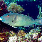 Yellowtail Parrotfish commonly in shallow areas of coral rubble and seagrass, occasionally on reefs, scrape filamentous algae from hard substrates in Tropical West Atlantic; picture taken Roatan, Honduras.
