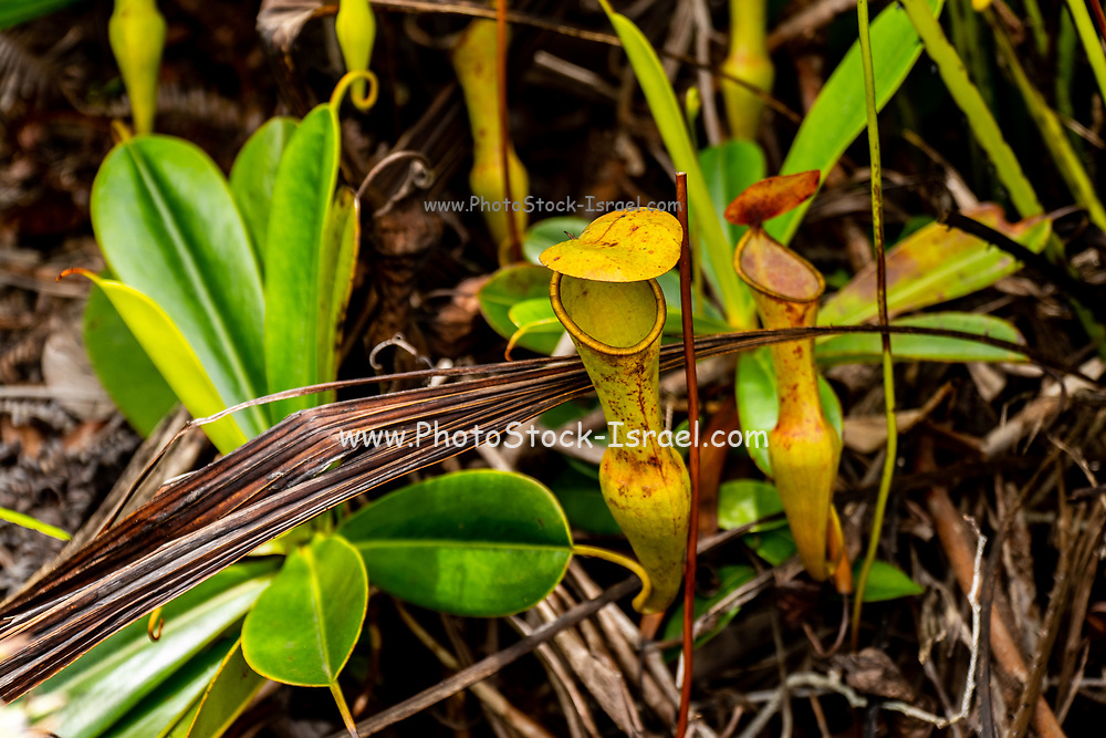 The urnlike insect trap of the carnivorous pitcher plant, Nepenthes pervillei. The pitcher (up to 30cm high) is an elaborate extension of the midrib of the leaf, which forms an insect trap. Its bright colours (often red) & the scent of nectar attract insects. The lid, closed during early development, opens at an angle to prevent rain filling the urn. Insects fall into the pitcher & drown in the sugary liquid produced by the plant & which contains digestive enzymes. Their digested bodies provide nitrogen compounds & proteins to the plant, which are absent from the poor soils they grow in. This is the only carnivorous pitcher plant found in the Seychelles. Photographed on Mount Copolia in the Morne Seychellois National Park