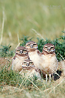 Burrowing owl chicks at a burrow on the Canadian Prairies