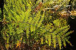 Adelaarsvaren, Pteridium aquilinum