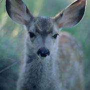 Mule Deer, (Odocoileus hemionus) Portrait of spotted fawn in the Bridger mountains. Montana. Summer.