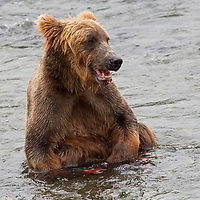 USA, Alaska, Katmai. Brown B ear in water at Brooks Falls.