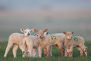 Lambing in Seaford, East Sussex Photo Jane Stokes/DJ Stotty Images