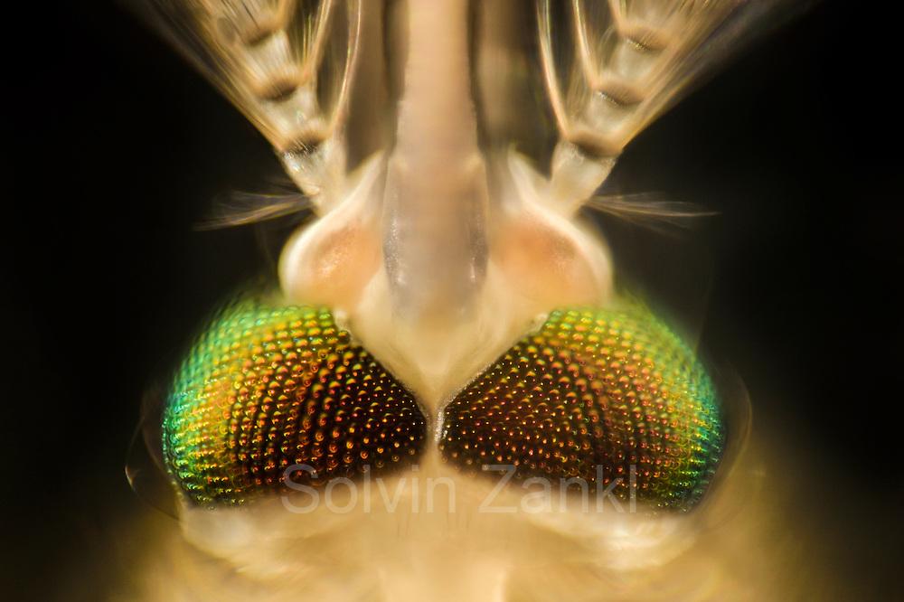 Mosquito (Culex pipiens) head, Kiel, Germany   Männliche Hausmücke (Culex pipiens)
