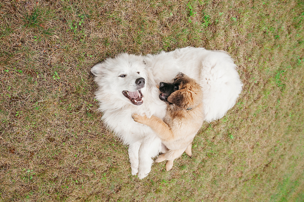 Happy Great Pyrenees and Leonberger puppy rolling around in the grass together