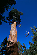 Members of Tree Climbing International, mostly from Japan, swing from a giant redwood near Springville, California.