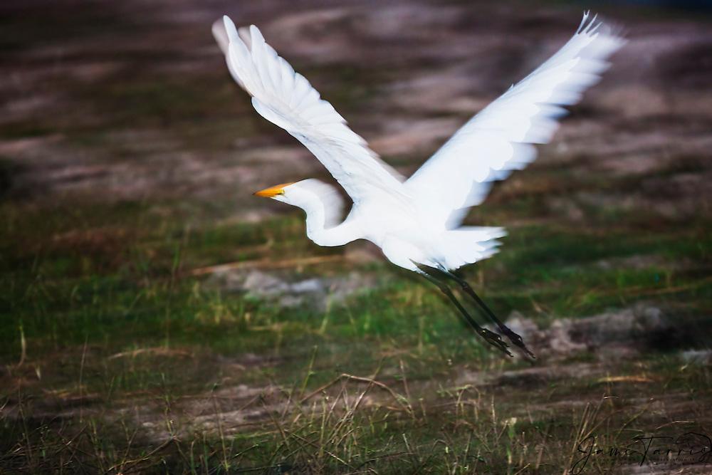 A great white egret or great white heron in flight (Ardea alba), Chobe River,Botswana, Africa