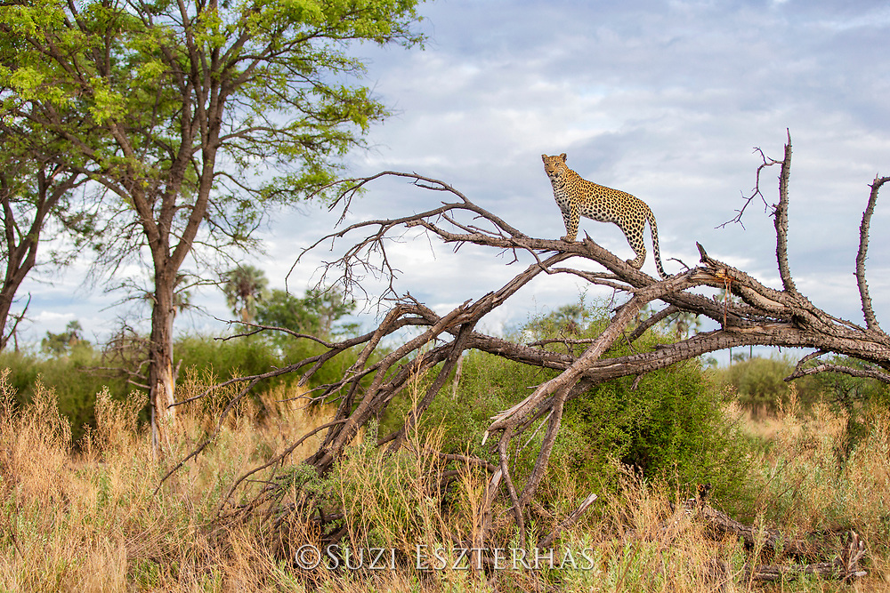 Leopard <br /> Panthera pardus<br /> Adult female looking for prey<br /> Jao Reserve, Botswana
