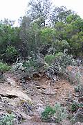 Chateau des Erles. In Villeneuve-les-Corbieres. Fitou. Languedoc. Garrigue undergrowth vegetation with bushes and herbs. Terroir soil. France. Europe. Schist slate soil.