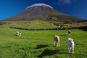 Livestock graze in an alpine region with Pico Mountain in the background, covered in a lenticular cloud, Pico Island, Azores, Portuguese autonomous region, North Atlantic Ocean.