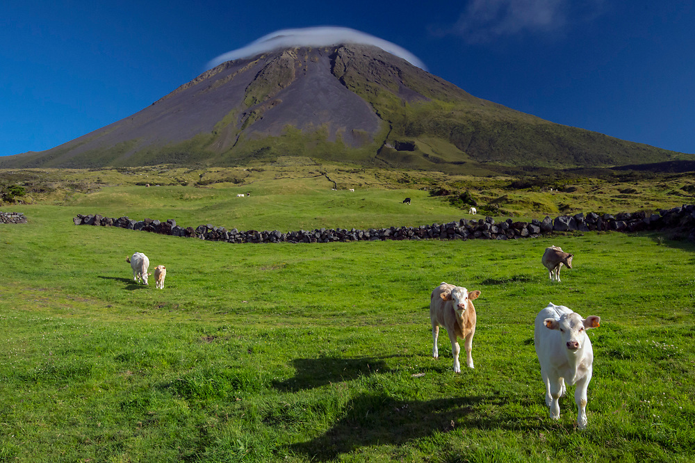 Livestock graze in an alpine region with Pico Mountain in the background, covered in a lenticular cloud, Pico Island, Azores, Portuguese autonomous region, North Atlantic Ocean.