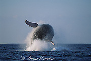 humpback whale, Megaptera novaeangliae, breaching, Hawaii Island, #6 in sequence of 9; caption must include notice that photo was taken under NMFS research permit #587