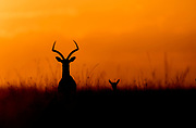 Mother and baby Gratns Gazella (Nanger granti) watching the beautiful sunrize of Maasai Mara, Kenya.