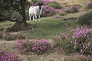 Sheep on Quantock Hills near Crowcombe, Somerset, England
