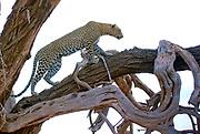 Leopard (Panthera pardus) climbing a tree late in the evening in Samburu National Reserve, Kenya.