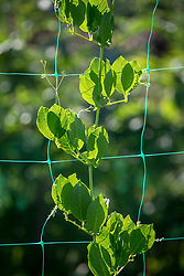 Green plastic netting used to support climbers