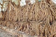 Africa, Ethiopia, Gondar, Roots of a Ficus tree at a wall Bath of Fasilidas