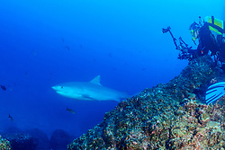 Galeocerdo cuvier, Tigerhai und Taucher mit Kamera, Tiger shark and scuba diver with underwater camera, Insel Cocos, Costa Rica, Pazifik, Pazifischer Ozean, Cocos Island, Costa Rica, Pacific Ocean, MR Yes