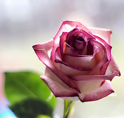 A macro rose photograph with pink and purple petal tones along the edges in front of my kitchen window
