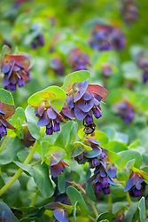 Cerinthe major 'Purpurascens' (honeywort) with bee