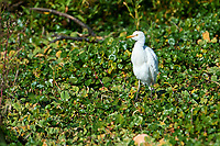 Cattle Egret (Bubulcus ibis) peched in a tree, Ajijic, Jalisco, Mexico