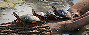 This log seemed to be prime real state for soaking up the sun.  These turtles clamored up the log and then almost climbed on top of each other to maximize their exposure to the sun.
