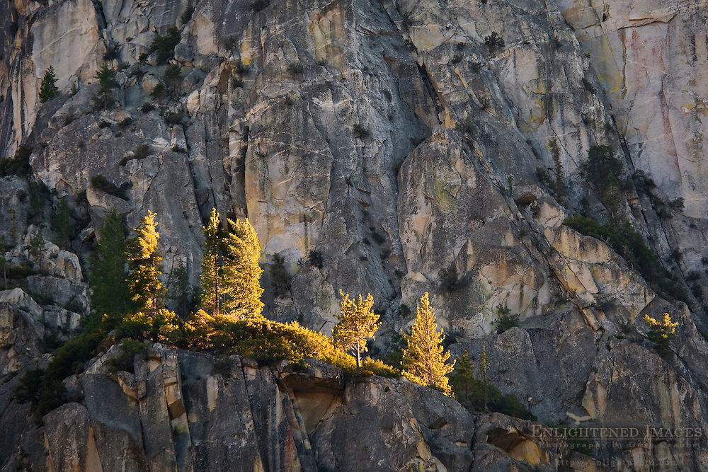 Sunlit trees on sheer granite rock cliff on The Grand Sentinel, Kings Canyon National Park, California