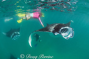 manta rays, Manta alfredi (formerly Manta birostris ), feeding on plankton, while tourists chase them attempting to touch them, Hanifaru Bay, Baa Atoll, Maldives ( Indian Ocean )