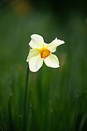 Victoria, B.C.Photo Randy Vanderveen.A daffodil announces spring's arrival in Victoria, British Columbia's capital.