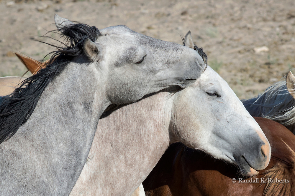 A wild horse show affection toward a family member near a watering hole in the Sand Wash Basin Wild Horse Management Area in northwest Colorado.