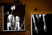 Parauapebas_PA, Brasil...Programa de Conservacao do Gaviao Real  (Harpia harpyja) em Parauaebas, Para...Gaviao Real Conservation Program  (Harpy harpyja) in Parauapebas, Para...Foto: JOAO MARCOS ROSA / NITRO..