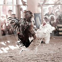 Dili, East Timor, 05 July 2012<br /> Rooster fight.<br /> Photo: Ezequiel Scagnetti © European Union